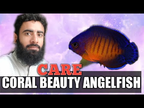 Coral Beauty Angelfish Care | Hindi/ Urdu