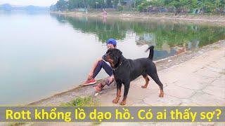 Chó khổng lồ 53kg đi dạo có gây sợ? Rottẁeiler Gervi 156