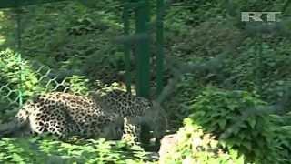 В Сочи родились первые котята леопардов  - живые талисманы Олимпиады-2014