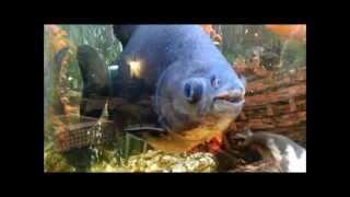 Красивые рыбки в большом аквариуме под приятный саундтрэк
