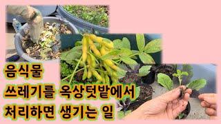 음식물 쓰레기를 옥상 텃밭에 버리면 생기는 일 / 콩나…