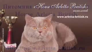 Котята играют. Британские котята. Купить котёнка. Питомник House Arletta British