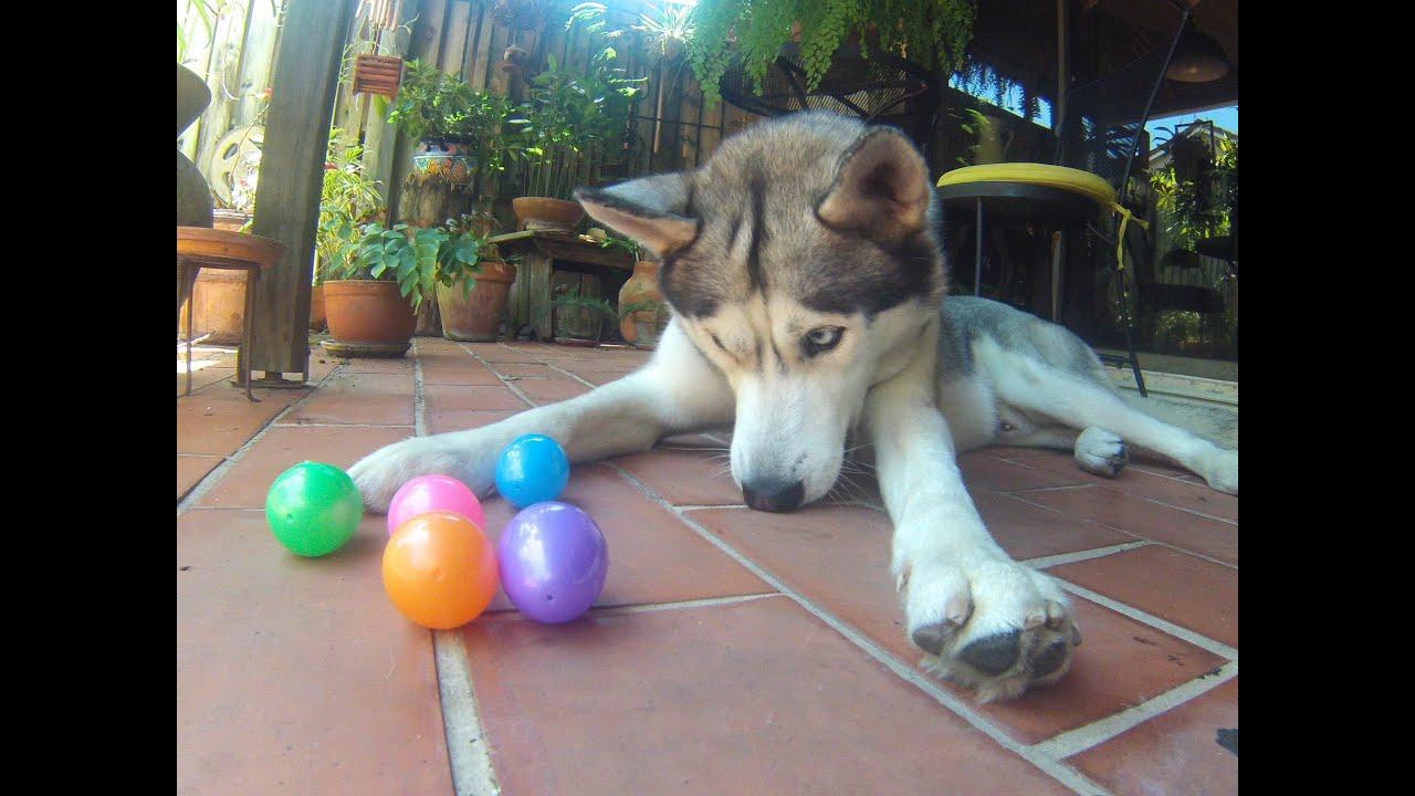 Husky Easter Egg Hunting!