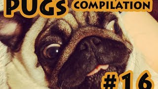 Funny Dogs but only Pug Videos - Pug Compilation 16 | instapugs - Funny Animals