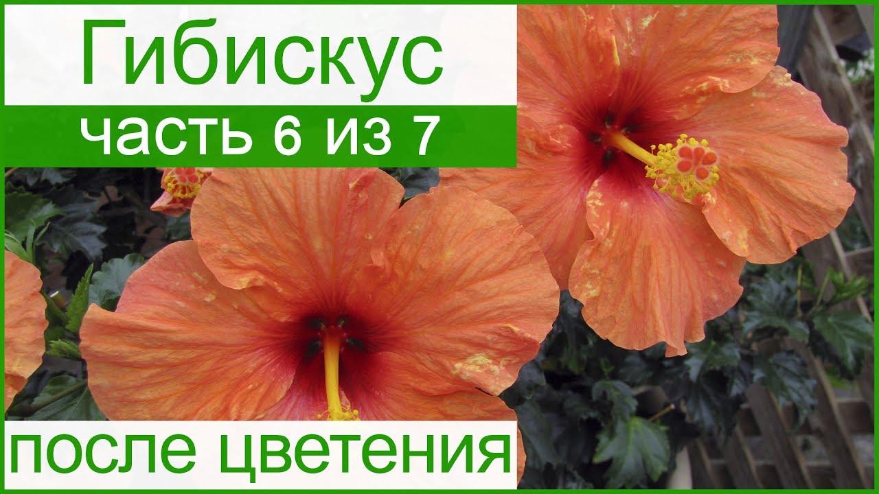 Саженцы гибискуса из лучших питомников голландии и украины. Каталог всех видов и разновидностей на одной странице. ✅ закажите саженцы.