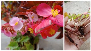 Begonia propagation: Easiest way to propagate Begonia from Cuttings