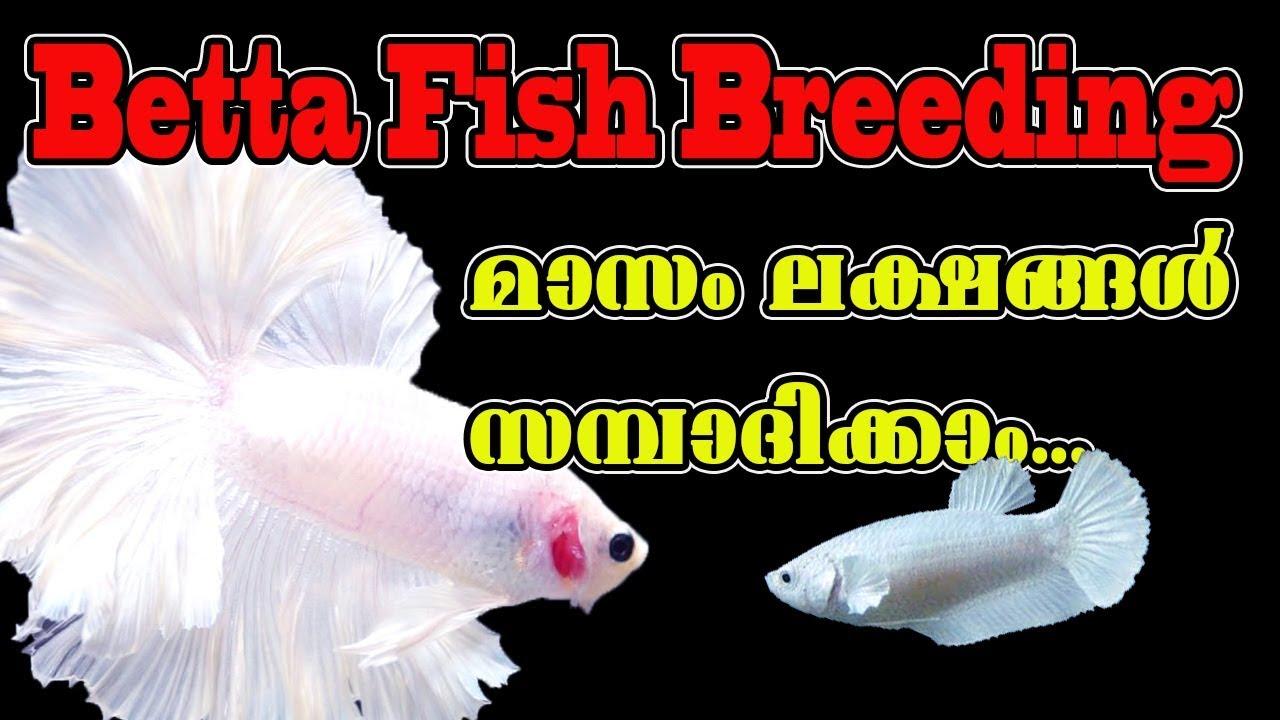 Betta Fish Industry Explained in Malayalam | Betta Breeding തുടങ്ങുന്നവർ അറിഞ്ഞിരിക്കേണ്ട കാര്യങ്ങൾ
