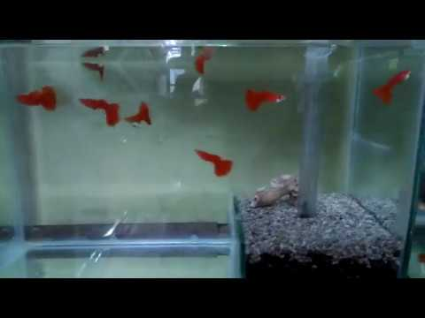 Albino Full Red Guppy With Semi Undergravel Filter 2 Months
