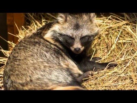 Енотовидная собака/Raccoon dog
