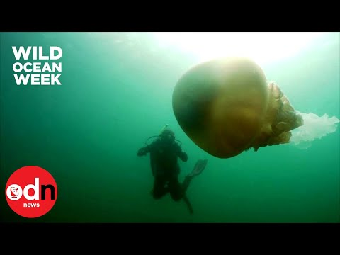 Giant Barrel Jellyfish the Size of a Human Spotted Off Cornwall Coast