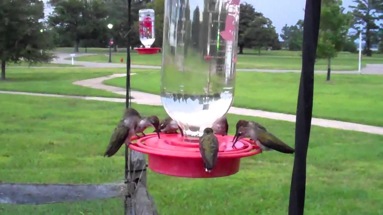 Multiple Ruby Throated Hummingbirds In Virginia Using