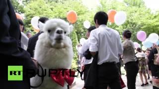 Альпака на свадьбе: отель в Японии предлагает уникальную услугу