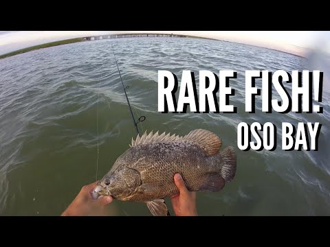 Tripletail In Oso Bay! - Wadefishing