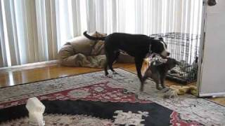 Lab Pit Mix Playing With Weimaraner Puppy