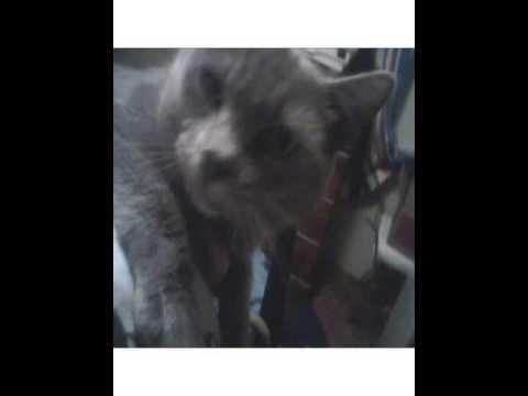 korat cat breeders