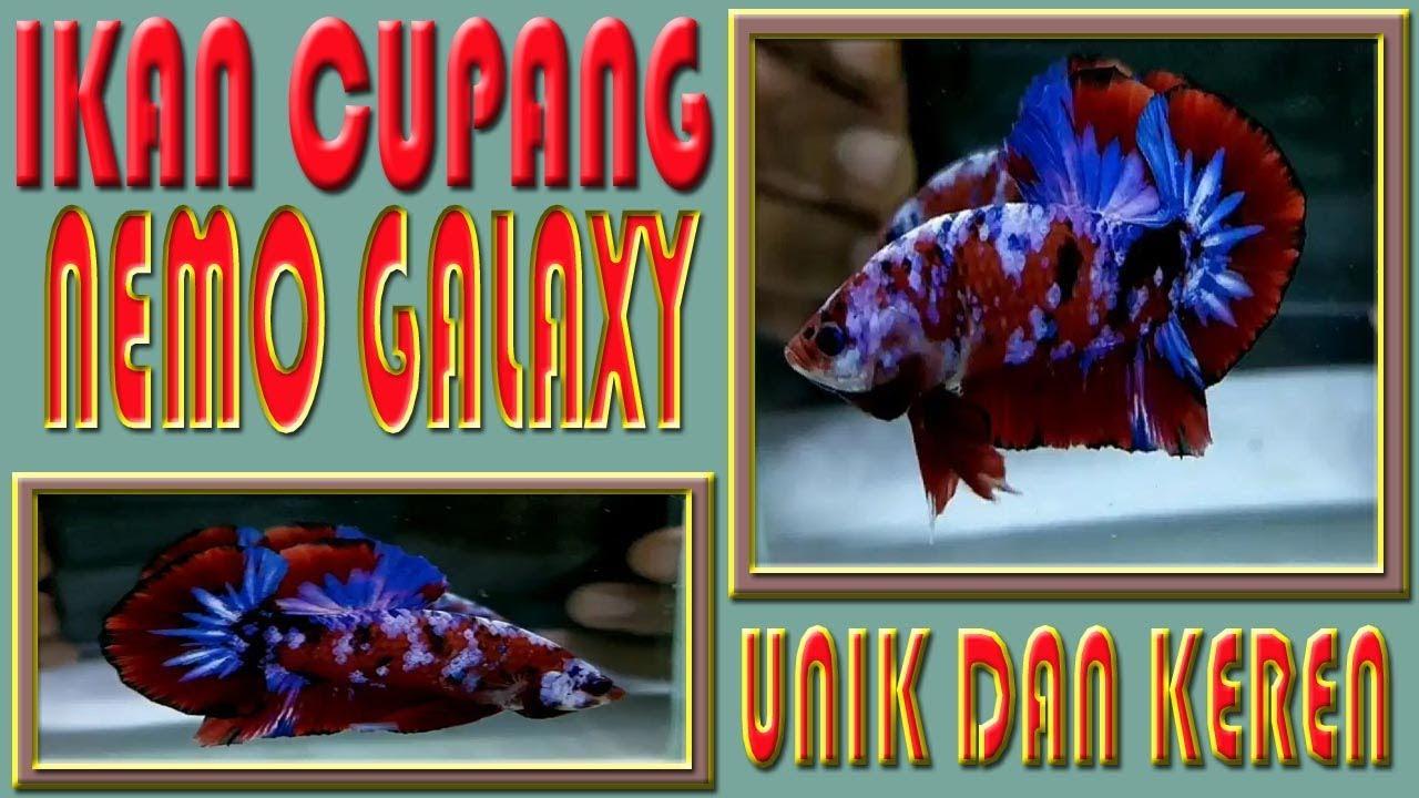 Ikan Cupang Nemo Galaxy Avatar Hellboy Koi Youtube