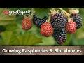 Growing Raspberries and Blackberries Organically