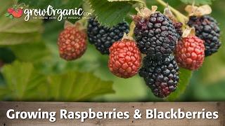 Growing Raspberries and Blackberries