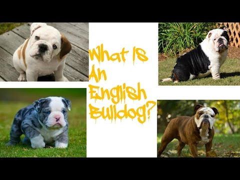 What Is A English Bulldog???