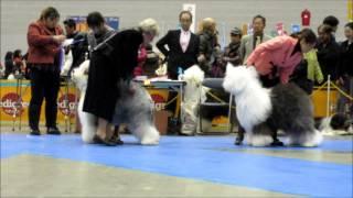 2015神奈川インターナショナルドッグショー オールドイングリッシュシ-...