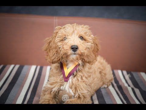 Lucky - Cavapoo Puppy - 2 Weeks Residential Dog Training