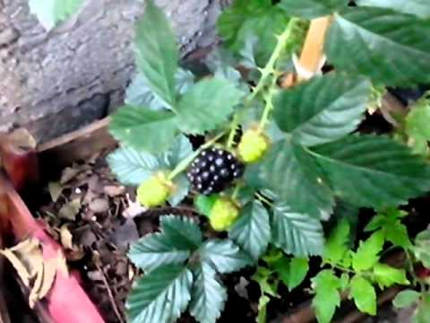 como plantar zarzamoras - youtube