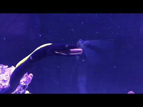 Ribbon Eel (Rhinomuraena Quaesita) Likes Hikari Pellets
