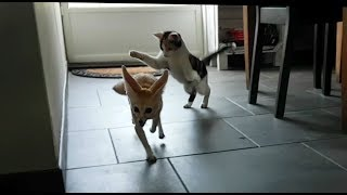 Jumpy Fennec and Playing Tag with the Cat