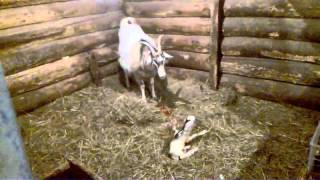 Роды козы 17 апреля 2016 19 07 44