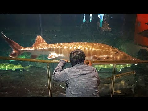 琵琶湖博物館の超巨大なチョウザメなどがヤバすぎた!