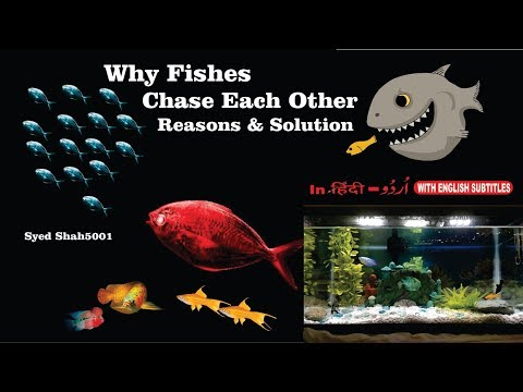 Why Fish Chase Eachother How To Stop A Fish From Chasing Its Tankmates