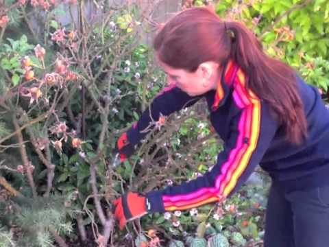 How To Prune Roses In Winter Youtube