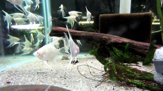 Red Eye Albino Pearlscale Angelfish (at Fantasy Aquatics)