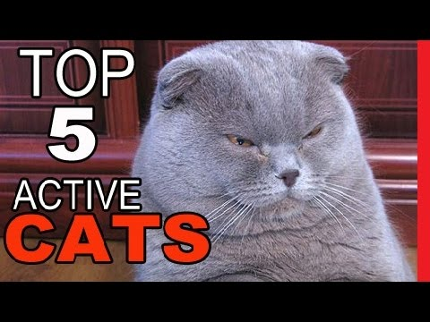 Top 10 Cat Breeds For The Active Home