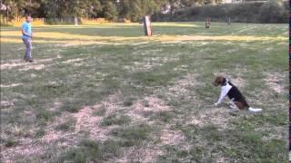 Ricky  (beagle) Trening Poslušnosť (obedience)