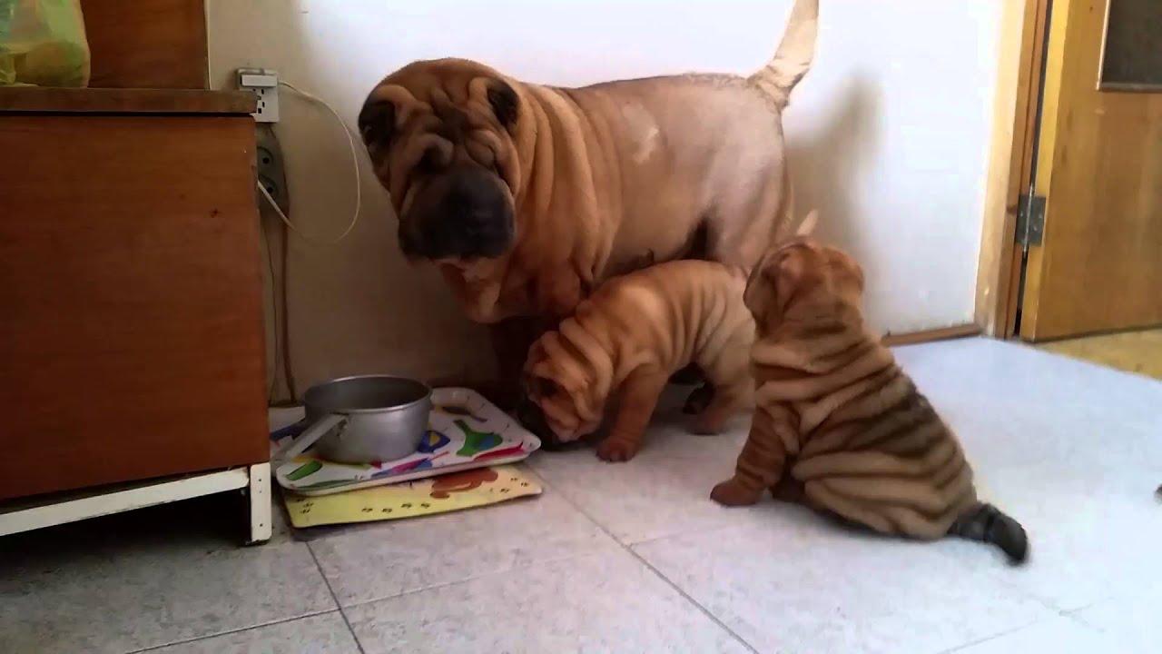 купить щенка шарпея можно у нас в питомнике - YouTube