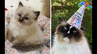 Ragdoll Cat Age Progression: Seal Mitted Charlie from 3 months to 11 years on his 11th Birthday