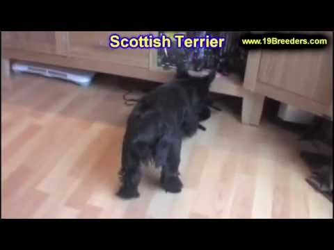 Scottish Terrier, Puppies, Dogs, For Sale, In Tampa, Florida, FL, 19Breeders, Fort Lauderdale