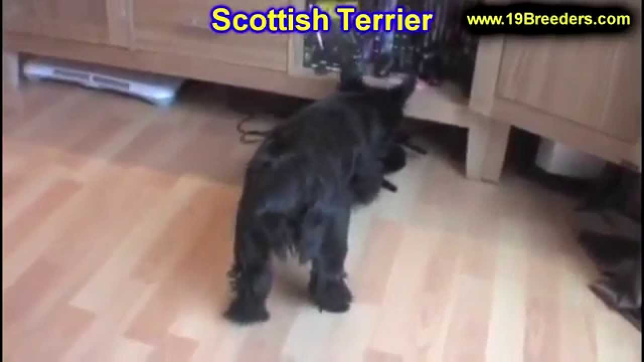 scottish terrier puppies florida scottish terrier puppies dogs for sale in ta 3784