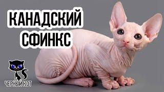 Канадский сфинкс / Интересные факты о кошках