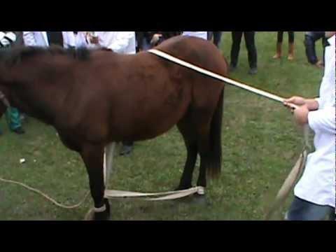 видео лошади перетягивающей канат чем носить меховую