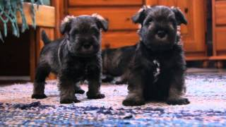 Andalbagat Miniature Schnauzer Puppies 4 Weeks, H-litter, Video 1