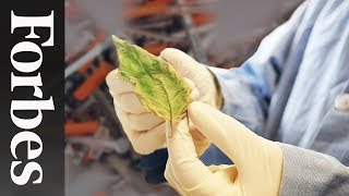 This Plant Could Help End An Epidemic, But Might It Be Outlawed?
