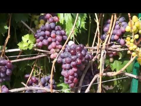 Виноград сорт Низина (сентябрь)