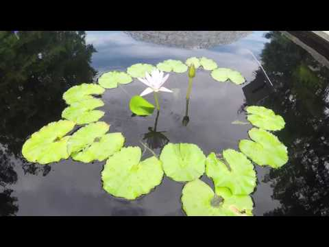 Nymphaea 'Blink' Water Lily Time Lapse