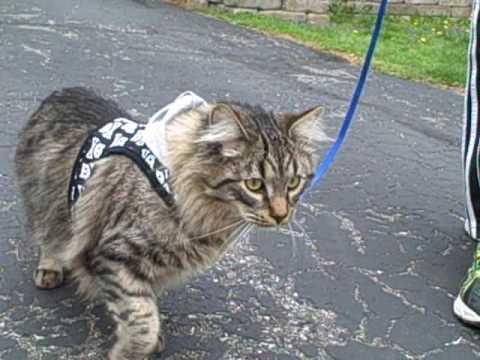 Kočka na voditku - cat on a leash. Walking a cat! @Yard-dvorek.