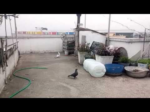 Fazla Takla Atan Taklacı Güvercin #2