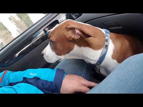 Вопрос: Как предотвратить укачивание собаки в автомобиле?