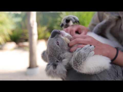 World's most chilled Koala