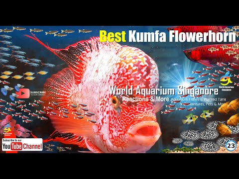 Secrets Of Best Biggest Kumfa Flowerhorn Fishes And How To Care & Breed Kumfa Flowerhorn Fishes